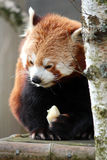 Captive Red Panda Royalty Free Stock Image