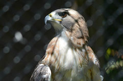 Captive Redtail Hawk Cameo Stock Image