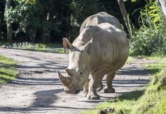 Captive Rhinoceros on safari theme park ride. Rhino blocking road on safari. The white rhinoceros or square-lipped rhinoceros Ceratotherium simum is the largest royalty free stock photo