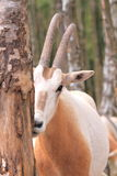 Captive roan antelope Stock Images
