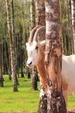 Captive roan antelope Royalty Free Stock Image
