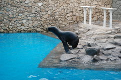 Captive sea lion. And swimming pool Royalty Free Stock Images