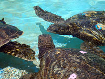 Captive Sea Turtles talk to each other. Captive Hawaiian Sea Turtles talk to each other under the shallow water.  The turtles sport colored letters on their Stock Image