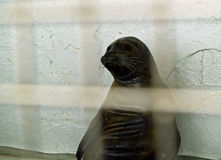Captive Seals Behind a Fence. In an Aquarium Stock Images