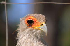 Captive secretary bird Royalty Free Stock Images