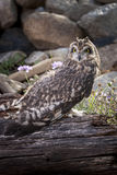 Captive short eared owl. An outdoor image of a captive short eared owl named Martin Stock Photography