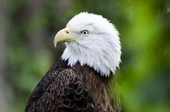 Captive skalliga Eagle profil, ihålig zoo för björn, Aten Georgia USA Royaltyfria Bilder
