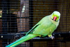 Captive Lorikeets Bird In An Aviary Cage. Captive South African Lorikeets Bird In An Aviary Cage At The Cango Wildlife Ranch South Africa Stock Photos