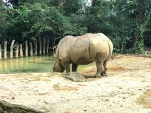 White square-lipped rhinoceros drinking water stock photo