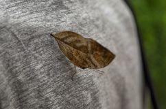 Dead leaf butterfly, Kallima inachus 16 August 2017 16:25 Royalty Free Stock Photography