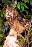 captive stor rockstanding för horned owl Arkivbild