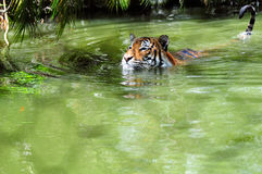 Captive Tiger in Water. Tiger swimming with its tail, mimicking a running-water-faucet, out of the water royalty free stock photo