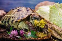 Tortoise. A captive turtle enjoys dandelion flowers stock photo