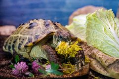 Tortoise. A captive turtle enjoys dandelion flowers stock photos