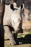 Captive White Rhino Stock Images