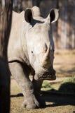 Captive White Rhino. A captive white rhino looking at the camera Stock Images