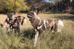 Captive wild dogs Stock Photos