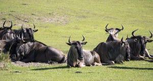 Captive Wildebeest on theme park safari royalty free stock images