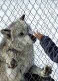 Captive Wolf Royalty Free Stock Image