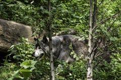 Captive wolf in National Zoo, Washington DC Royalty Free Stock Image