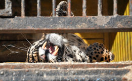 Captiveiro da cadeia do leão do tigre da gaiola da pilha dos animais do jardim zoológico fotos de stock royalty free