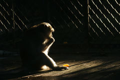 Captivity. A monkey in a cage at a zoo royalty free stock photos