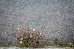 Captivity. Daisies growed in the stone wall Royalty Free Stock Images