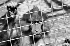 Captivity. A Tonkean macaque in black and white behind a fence - Macaca tonkeana, a threatened species of primate in the Cercopithecidae family Stock Photo