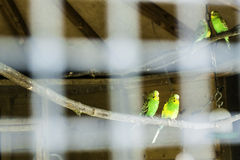Captivity. A well-looked-after pair of little parrots in a cage in a small Dutch small animal farm stock photography