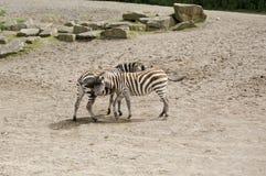 Captivity zoo elephant. Captivity zebras Dublin zoo in Irland Royalty Free Stock Images
