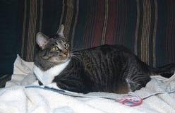 A captura como o gato pode Imagens de Stock Royalty Free