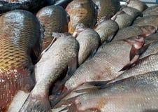 Captura da carpa e da brema na pesca do inverno e no contador do supermercado imagem de stock royalty free