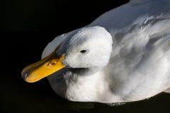 Captura de arriba del pato blanco pesado de Pekin, también conocida como Long Island o pato de Aylesbury imágenes de archivo libres de regalías