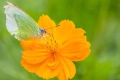 Captura de la mariposa en las flores amarillas del cosmos imagenes de archivo
