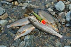 Captura de los pescados 15 Fotografía de archivo