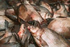 Captura de peixes grande Os grandes peixes vivos estão na água Imagem de Stock