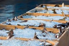Captura del día - pescado fresco en contenedores Imagen de archivo