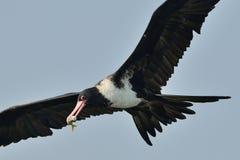 Captura del pájaro de fragata un pescado Imágenes de archivo libres de regalías