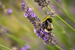 Captura detallada de una abeja, cosechando el néctar en las flores de la lavanda imagen de archivo libre de regalías
