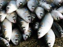 Captura do caugh dos peixes do dia pela rede na praia para o alimento da venda para emprestado imagem de stock royalty free