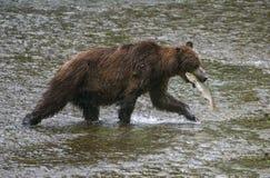 Captura do urso Fotografia de Stock Royalty Free