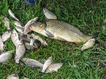 captura dos peixes na carpa grande da grama verde e crucian Foto de Stock