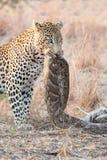 Captura fuerte y hambrienta del leopardo un pitón de roca a comer Fotografía de archivo libre de regalías