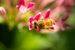 Captura macra de la opinión superior de la abeja en la flor de la naturaleza Imagen de archivo