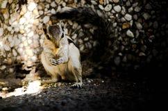 Capturando esquilos Imagem de Stock