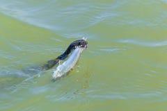 Capturas de la serpiente Foto de archivo libre de regalías