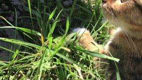 Capturas del gato un lagarto almacen de metraje de vídeo