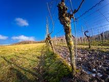 Capture de plan rapproché de vigne dans les vignobles Image libre de droits