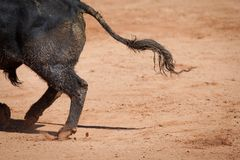 Brave bull. Capture detail of a brave bull on sand stock photo