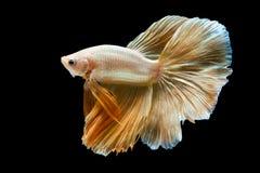 Capture el momento móvil de pescados que luchan siameses de oro imagenes de archivo